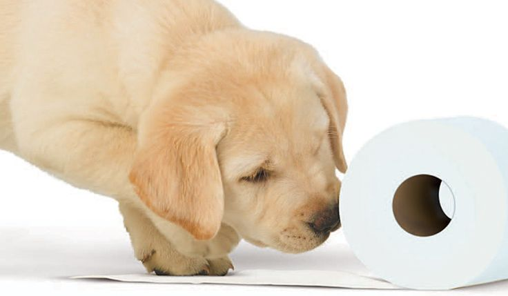 10 facts about the Andrex puppy...  #andrex #puppy #puppies #dog #cute #facts