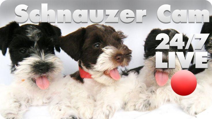 Schnauzer Puppy Live Cam