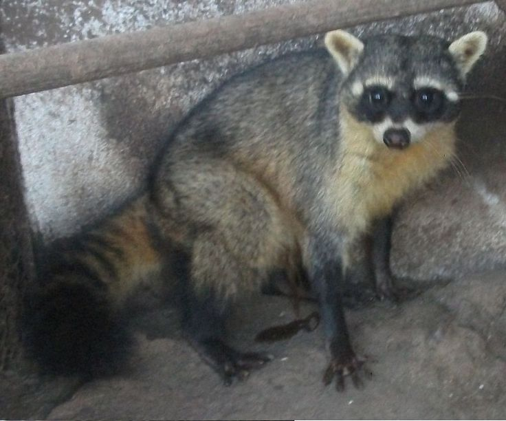 The crab-eating raccoon (Procyon cancrivorus ) is a species of raccoon native to marshy and jungle areas of Central and South America (including Trinidad and Tobago). It is found from Costa Rica south through most areas of South America east of the Andes down to northern Argentina and Uruguay. That it is called the crab-eating raccoon does not mean that only this species eats crabs, as the common raccoon also seeks and eats crabs where they are available. The crab-eating raccoon eats crab...