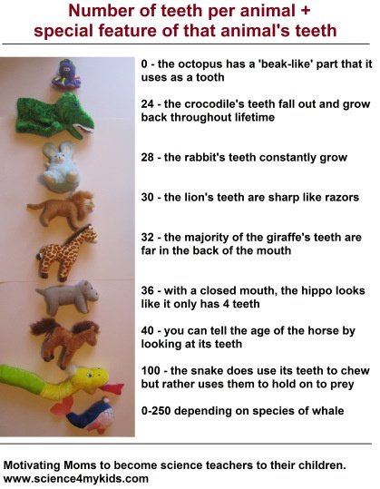 Number of teeth per animal, plus special feature of each animal's teeth.  Fun science project for preschooler plus good number recognition practice