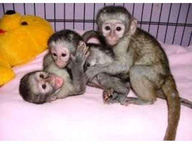 Lovely Male And Female Capuchin Monkeys Capuchin Monkey Pet