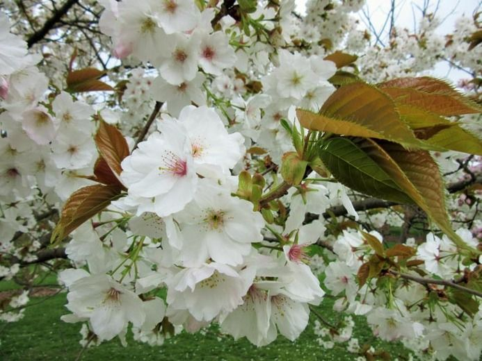 Prunus 'Tai-haku', Japanese Flowering Cherry 'Tai-haku', Cherry 'Tai-haku', Cherry 'Taihaku', Prunus serrulata 'Tai-haku', Great White Cherry, Blossom Tree, Cherry blossom tree, Ornamental Cherry, Spring Flowers, White flowers