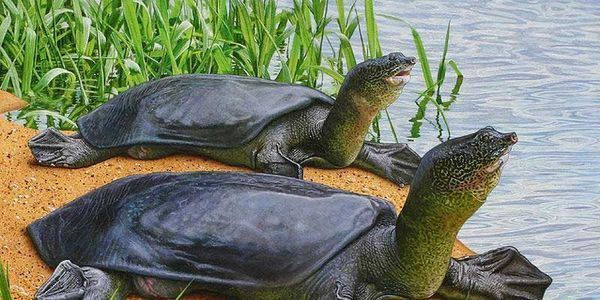 World's Largest Freshwater Turtle, the Yangtze Softshell Turtle Almost Extinct | Click for details and please SIGN and share petition to move the last two Yangtze Softshell Turtles from the zoo to a special conservation area away from zoos and zoo visitors so that they might mate and reproduce. Thanks.