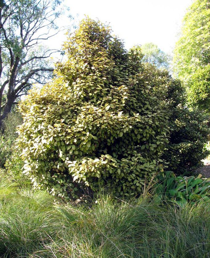 Horopito (Pseudowintera colorata, or pepper tree) 2-3m compact