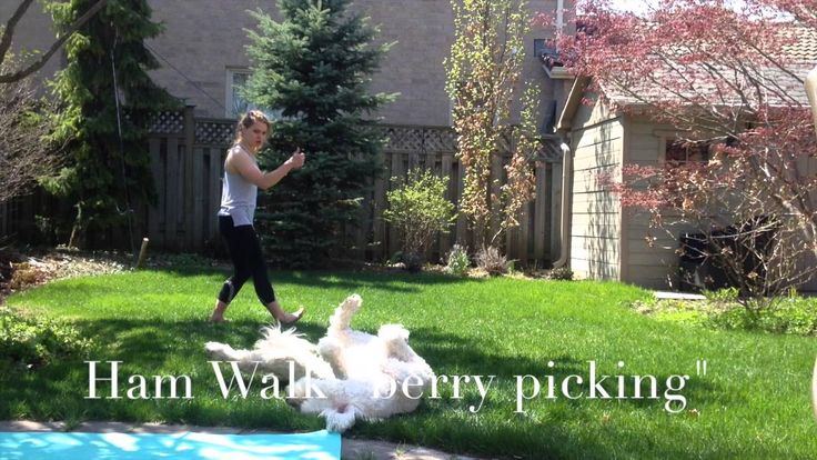"The Ham walk AKA ""Berry Picking"" is a dynamic exercise that gently warms up the posterior chain; the hamstrings especially.  Guest Appearance: Farley the Golden Doodle  Facebook: Personal Training with Stephanie Thompson"