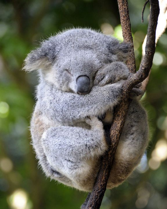 Koalas are marsupials and solitary creatures, spending most of their days comfortably lounging in trees. They usually spend between 18 and 22 hours, or about 75 percent of the day, sleeping. The extended naps help koalas conserve energy, which they need to digest their fiber-heavy diet of eucalyptus leaves.