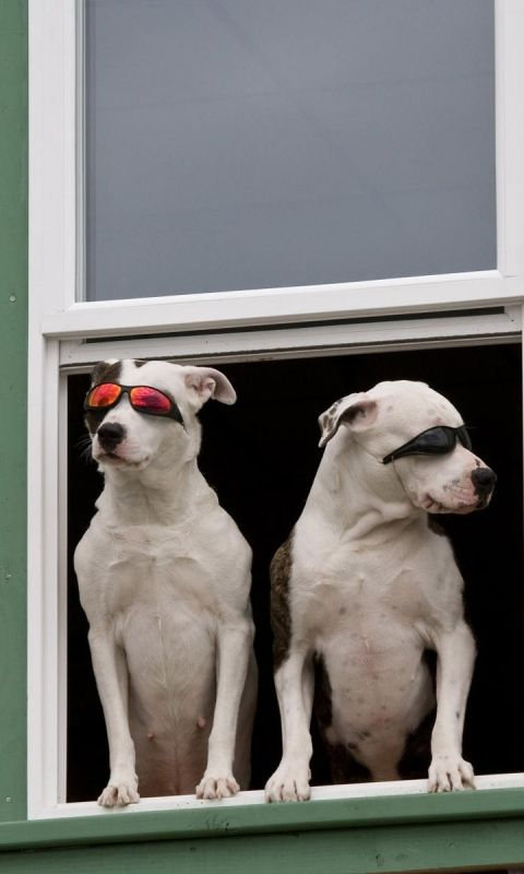 480x800 Wallpaper dog, window, sunglasses, couple, sitting, waiting, security