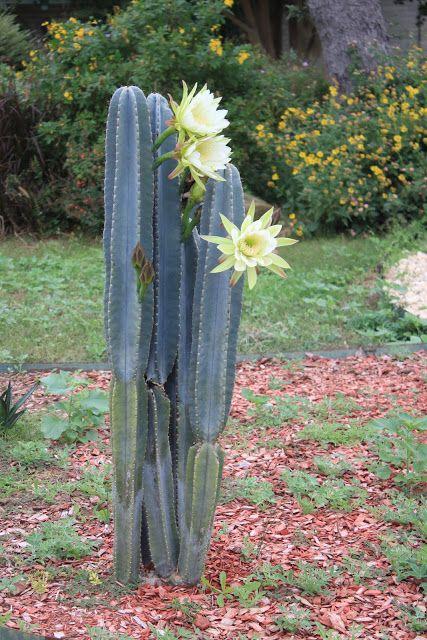 san pedro cactus - Hinterhoflandschaften