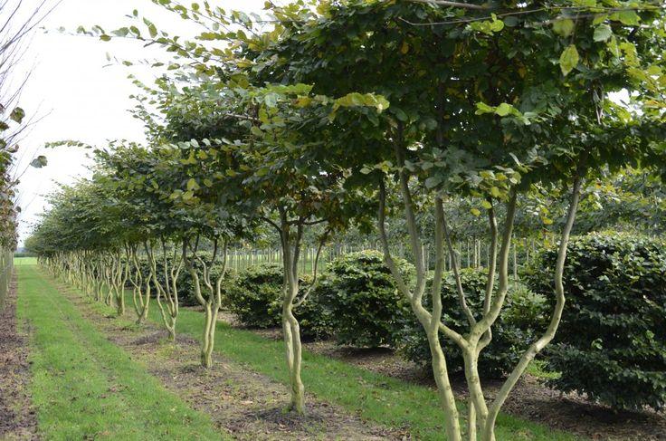 Carpinus betulus   Van Roessel Vormbomen