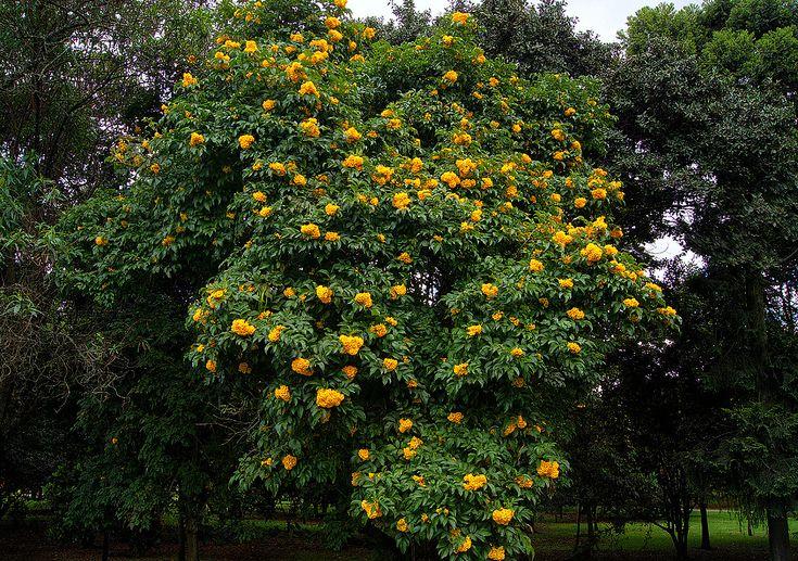 Tecoma stans tree