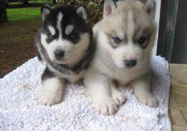 siberian husky puppy price | Zoe Fans Blog
