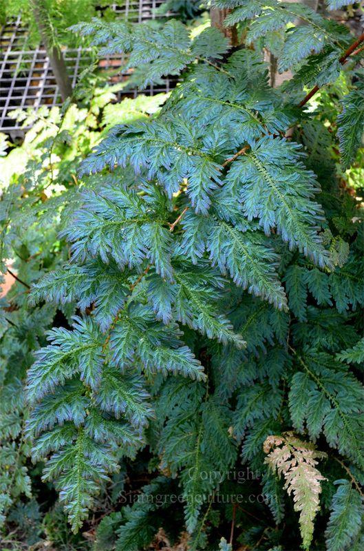 Selaginella, spike moss