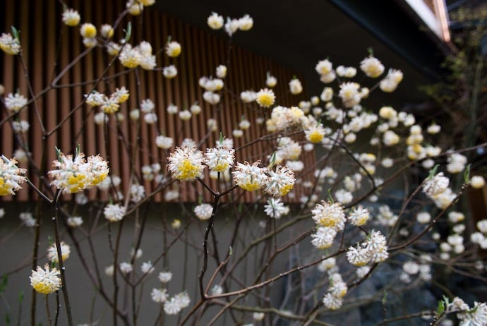 Edgeworthia chrysantha (paper bush) another early bloomer that smells so delicious. Plant in protected area in zone 7.