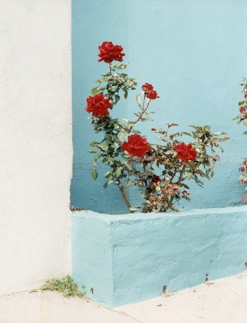 red roses pop against a baby blue wall
