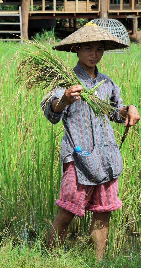 A farmer showing freshingly harvested rice at the Living Land Farm in Luang Prabang, Laos - showing traditional rice farming in Asia