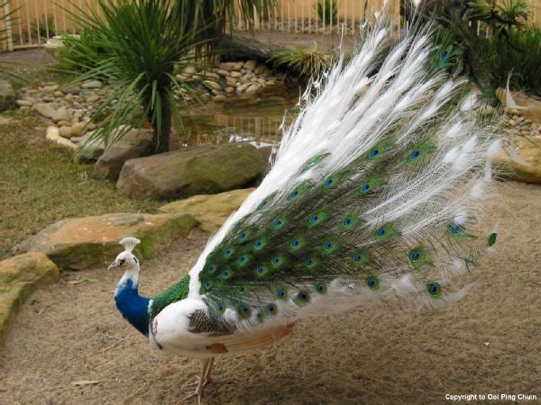 Peacock - Featherdale Wildlife Park, Sydney, Australia ...