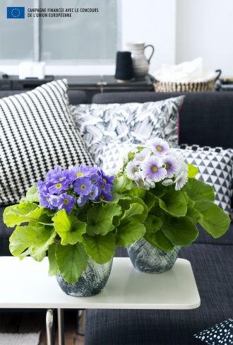Indoor Primulas