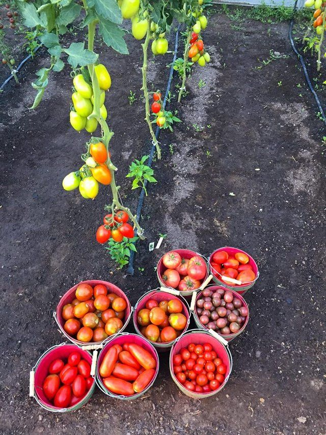 Growing Tomato S Single Stem Why Where When Growing Tomatoes Fall Vegetables To Plant Tomato