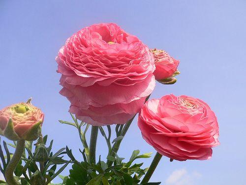 Pink Ranunculus asiaticus (Persian Buttercup) by Luigi FDV, via Flickr