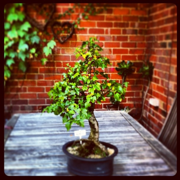 my first bonsai tree