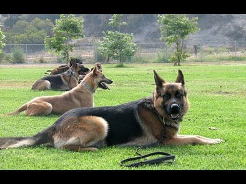 The Dog Whisperer - Scared Straight (in HD!!!) - YouTube i did same with combat training my patrol friend........