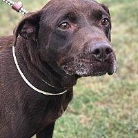 Harrisville, Rhode Island - Labrador Retriever. Meet Duncan, a for adoption. http://www.adoptapet.com/pet/19196686-harrisville-rhode-island-labrador-retriever
