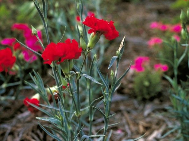 Learn about growing carnations, including starting carnation seeds, from the experts at HGTV Gardens.