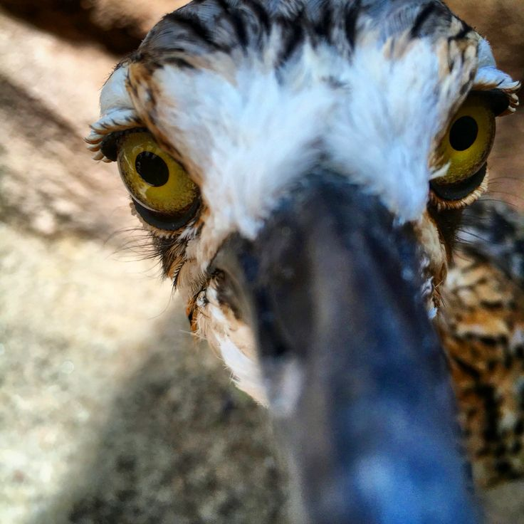 My favourite... Noname the bushstone curlew
