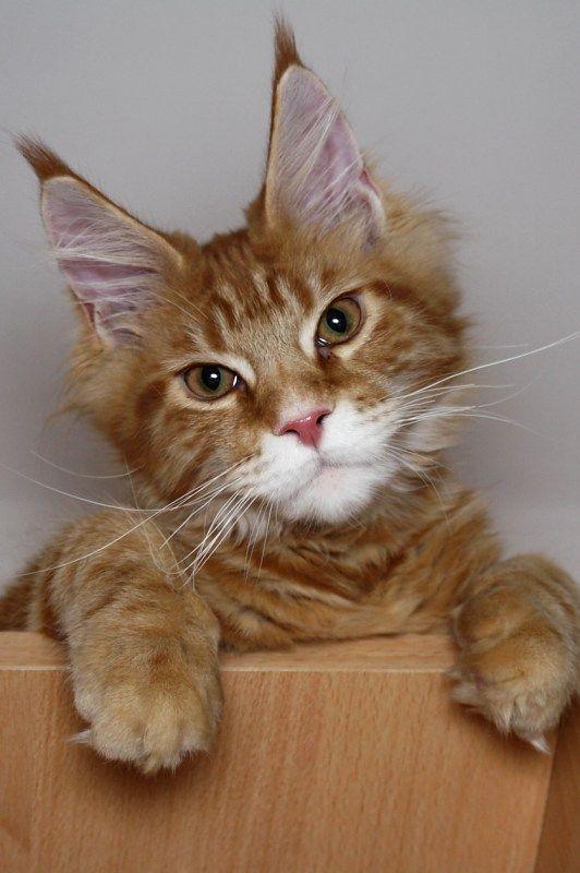 Maine coon cat. Awwww, so sweet!