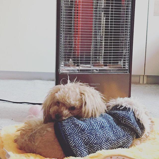 おーい!  外は晴れてて暖かいよーー!  #poodle #toypoodle #puppy #愛犬#トイプードル部 #子犬#仔犬 #トイプードル#ふわもこ部 #instadog#poodlepuppy#トイプードルパピー#プードル子犬#みかん#チャムチャム