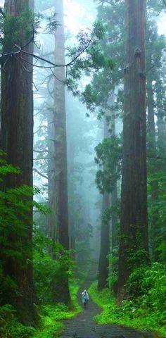 Caminhando entre as gigantes de incrível beleza. Parque Nacional das Sequóias, estado da Califórnia, USA.