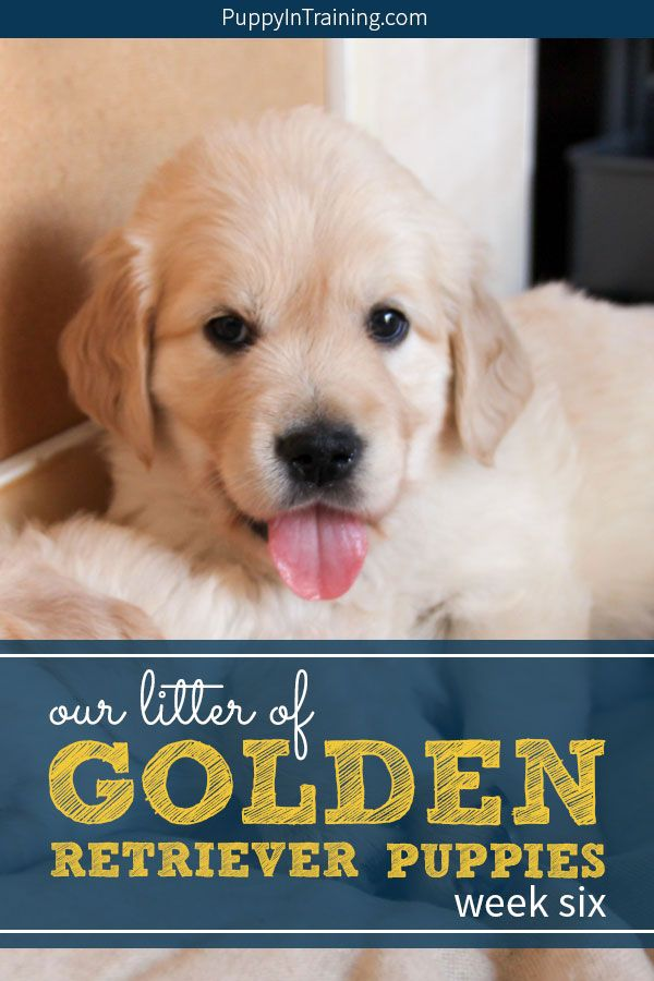 Our Litter Of Golden Retriever Pups Week 6 Training Your Puppy