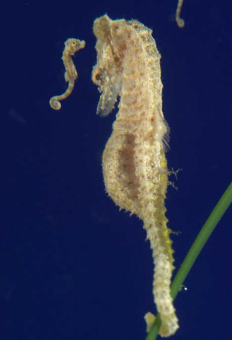 pygmy seahorse and sea fan relationship