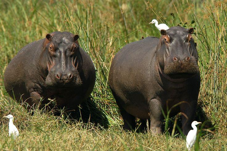 Hippopotames - Safari #Zambie et #Malawi