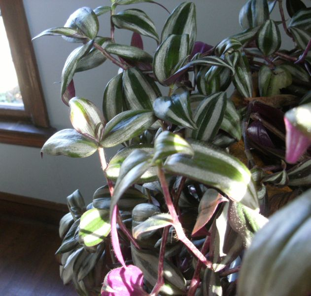 propagate houseplants a wandering jew plant is propagated from stem cuttings propagate house. Black Bedroom Furniture Sets. Home Design Ideas