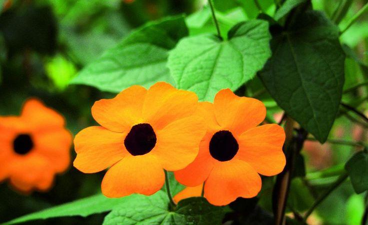Die Schwarzäugige Susanne -  Die Schwarzäugige Susanne zählt zu den beliebtesten einjährigen Kletterpflanzen. Sie ist recht anspruchslos, hat eine sehr lange Blütezeit und wird in verschiedenen Blütenfarben mit und ohne ihr namengebendes schwarzes Auge angeboten.