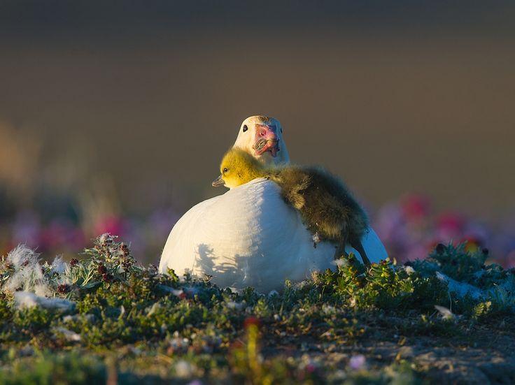 Вылупившись первыми в семье, старшие гусята терпеливо дожидаются своих братьев и сестер.Хотя птенцы у белых гусей появляются почти синхронно, «старших» от «младших» отделяет несколько часов....