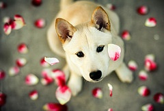 A SymphonyPuppies, Shiba Inu, Pets, Dogs Lovers, Dogs Pictures, Cute Dogs, Dogs Portraits, Rose Petals, Animal