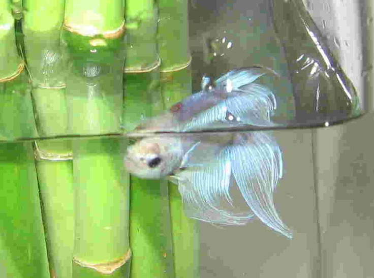 15 Best Betta Fish Names The Many Varieties Of Betta Images On Pinterest Betta Betta Fish