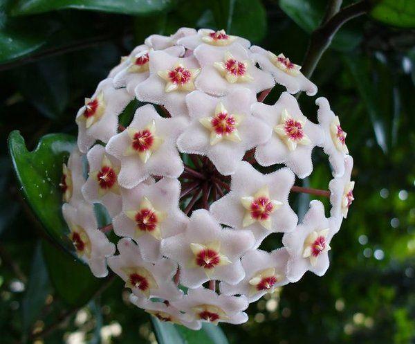 100 Pieces Seeds of Hoya Carnosa Flower Seeds Garden Plants | Rudelyn's Sari Sari Store