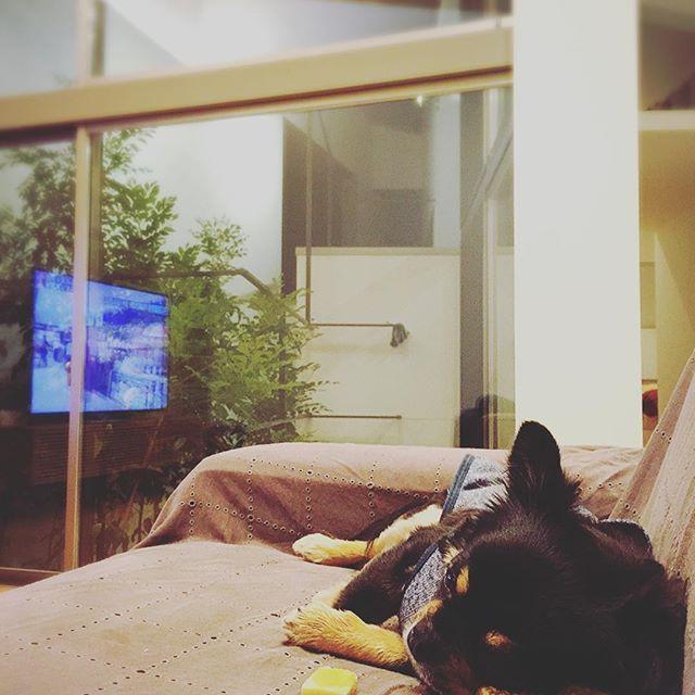 3日ぶりの帰宅はワンコも同じ… 真っ先に向かった先はリビングのソファ。  相棒枕に、ヒマチーは目線の先。 ヒトもワンコもやっぱり家が1番💕  #チワワ #ワンコ #わんこ  #ブラックタン  #愛犬 #ソファ  #リビング #自由設計  #chihuahua  #dog  #dogstagram  #ig_daily  #ig_japan  #livingroom  #living  #lightcourt