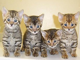 Toyger Kittens-- The Toyger was founded by Judy Sugden of EEYAAS Cattery in the USA. The Toyger is the result of a cross between a striped Domestic Short Hair and a Standard Bengal Tabby This resulted in a striped Cat which after many years of hard work resembles a 'mini Tiger'