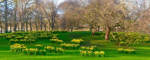 Buckingham Palace - A host of golden daffodils