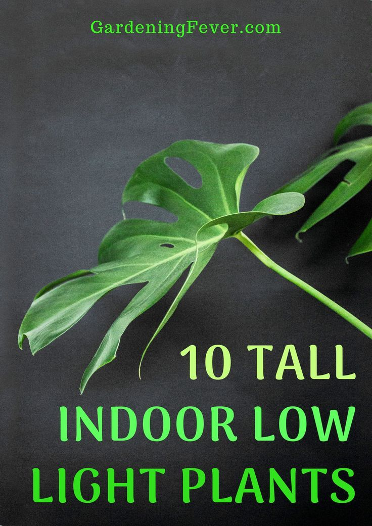 10 Tall Indoor Low Light Plants Gardening Tips Gardening For