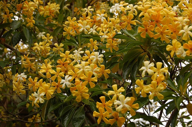 native frangipani. Native frangipani likes a position in full sun to dappled shade, with protection from strong winds. This tree performs very well in the alkaline soils of Adelaide, so if you live in an area with neutral to acid soil, apply a small amount of lime