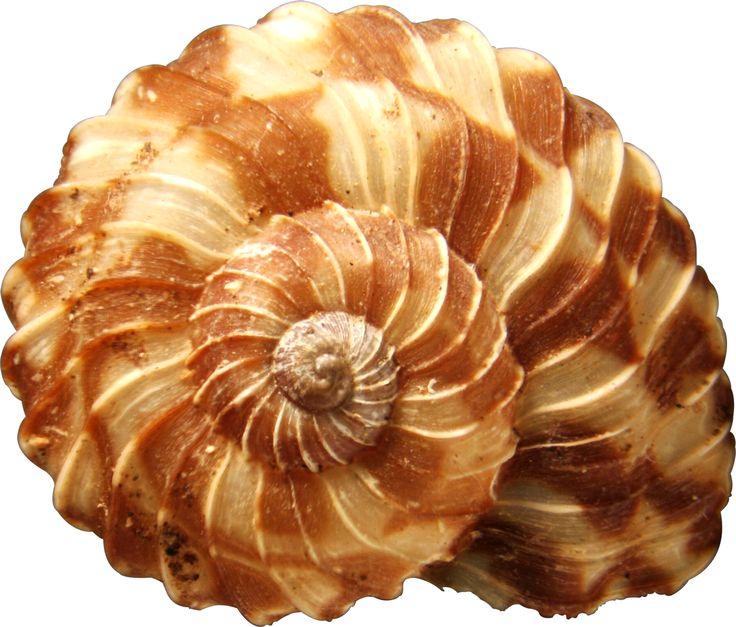 фото красивых раковин морских: 26 тыс изображений найдено в Яндекс.Картинках