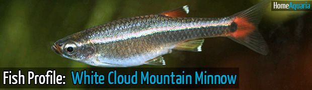 Fish Profile: White Cloud Fish