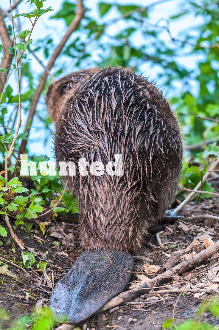 281 best beavers images on pinterest beavers baby beaver and