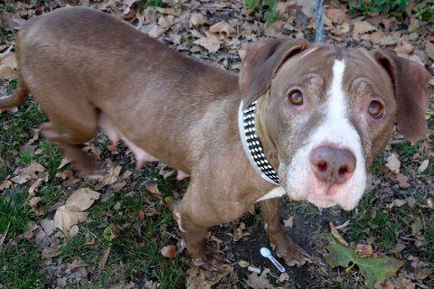 Manhattan Center CINDY – A1097137 FEMALE, BROWN / WHITE, AM PIT BULL TER MIX, 7 yrs OWNER SUR – EVALUATE, NO HOLD Reason MOVE2PRIVA Intake condition EXAM REQ Intake Date 11/17/2016, From NY 10458, DueOut Date 11/20/2016