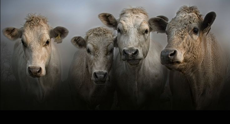 Cows I love them